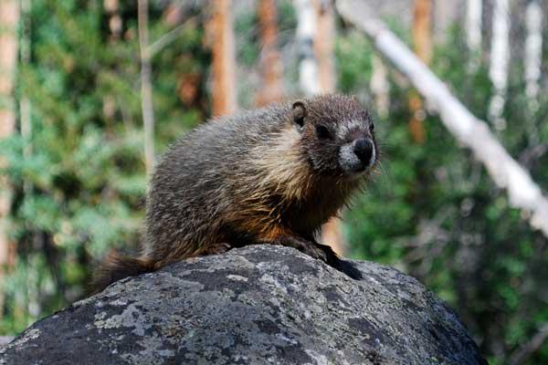 baby_marmot