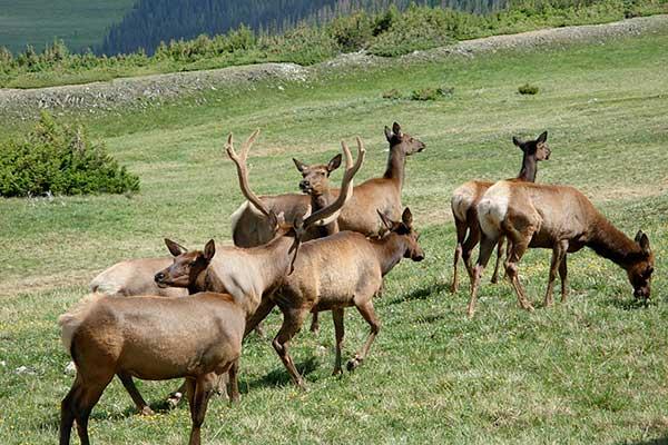 elk_herd
